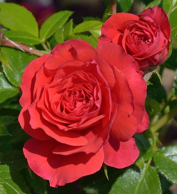 Cherry Girl роза фото