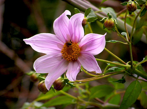 blooming pink dahlia with many buds and bee