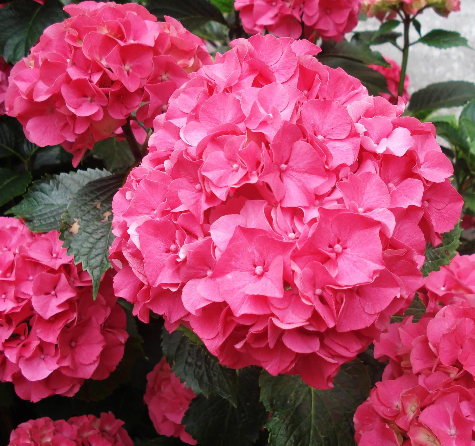 Hydrangea Flower: A Spoonful Of Sugar: Friday Flower: Hydrangeas