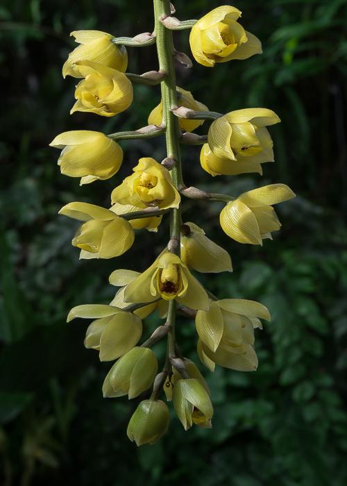 Acineta erythroxantha ABG 20050050