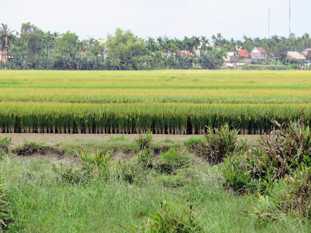 Rice paddy encountered on the Heaven and Earth Bicycle Tour in Vietnam