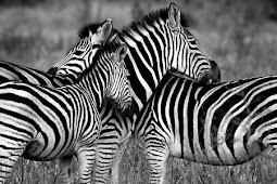 Kenapa Zebra Kulitnya Belang? Ini Ternyata Alasannya