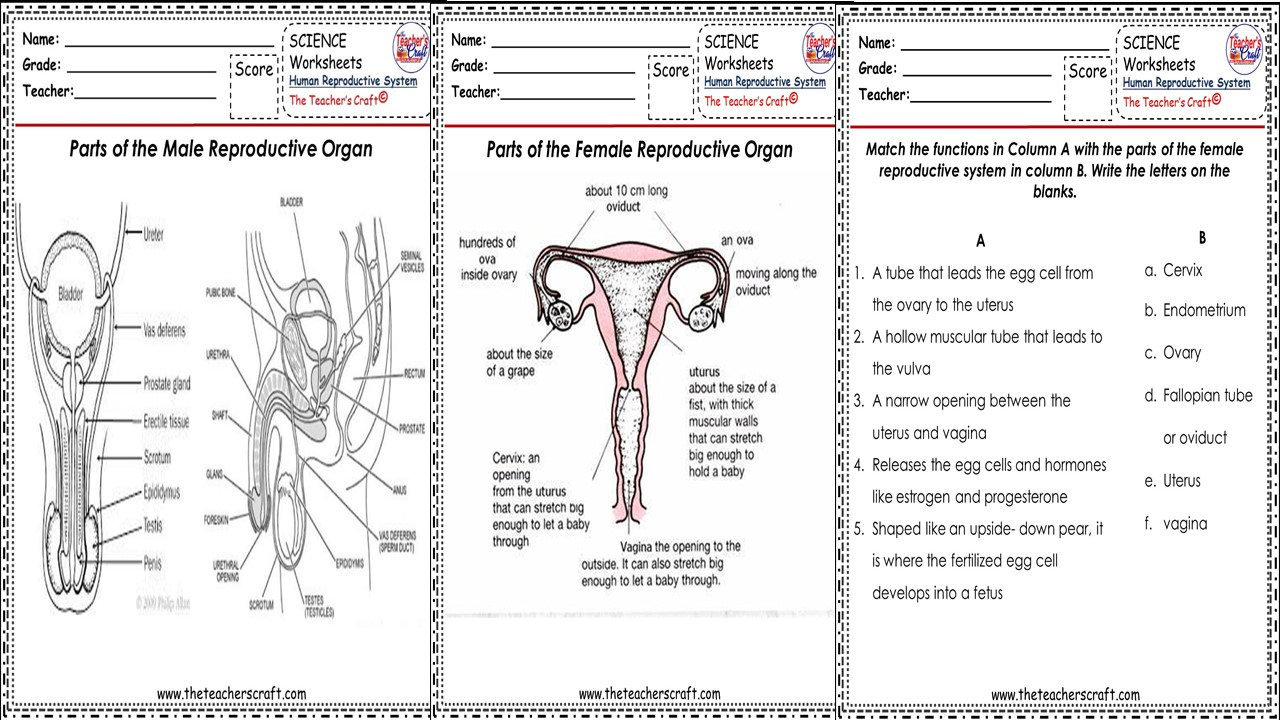 hight resolution of SCIENCE V- HUMAN REPRODUCTIVE... WORKSHEETS - The Teacher's Craft