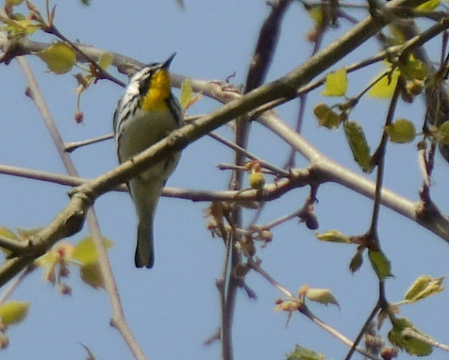 Yellow-throated Warbler along the Little Miami River