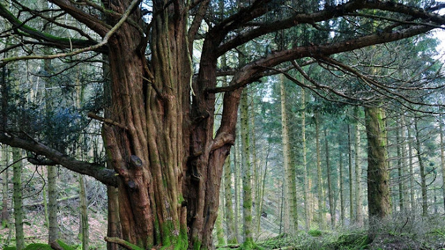 Yew Tree Dreams Interpretations and Meanings