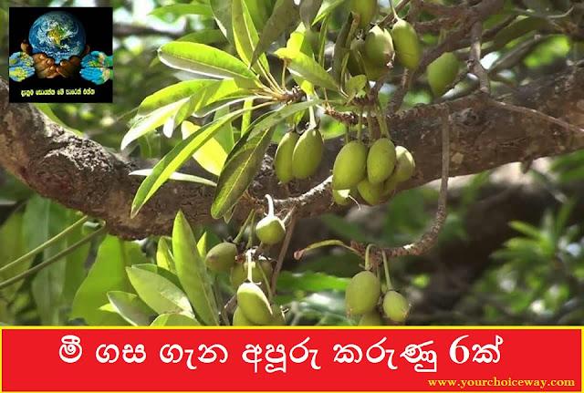 මී ගස ගැන අපූරු කරුණු 6ක් (Madhuca longifolia - Mi Gasa) - Your Choice Way