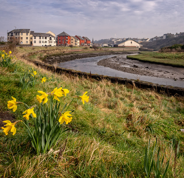 Photo of a taste of Spring - daffodils by the River Ellen in Maryport