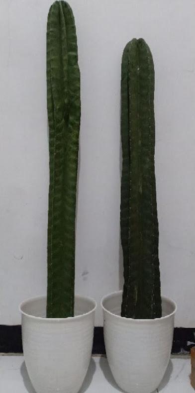 Kaktus Koboy Kaktus Belimbing MURAH 1METER UP Bukittinggi