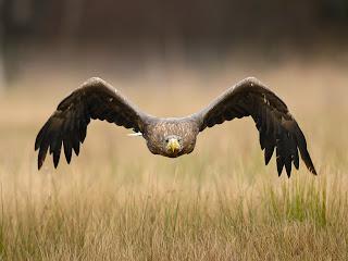 Foto burung elang sedang terbang