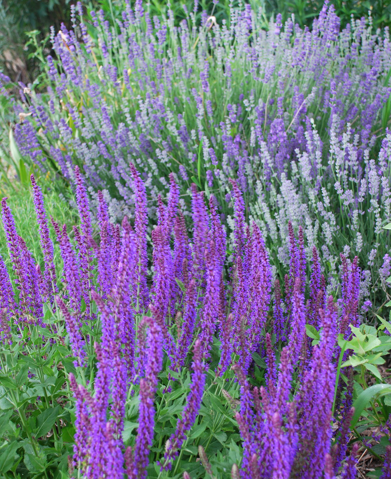 Salvia And Lavender Two Of The Spiky Purple Plants These Are Reliable In Hot Dry Weather With A Long Season Bloom