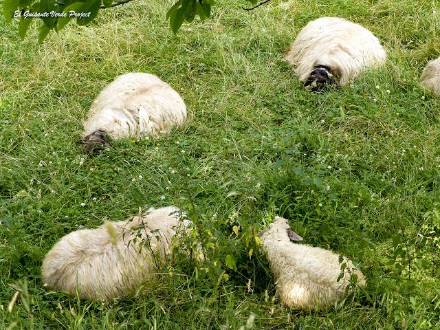 Via Verde Arrazola, ovejas por El Guisante Verde Project