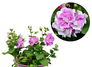 jual-bibit-petunia-ungu.jpg