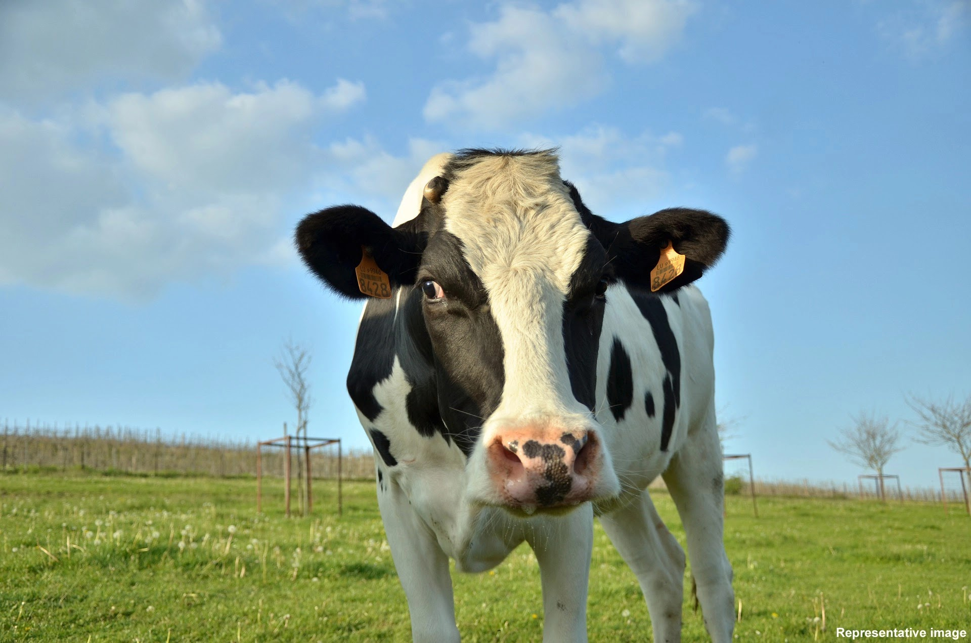Scientists Have Discovered Microbe In Cow's Stomach That Can Break Down Plastic