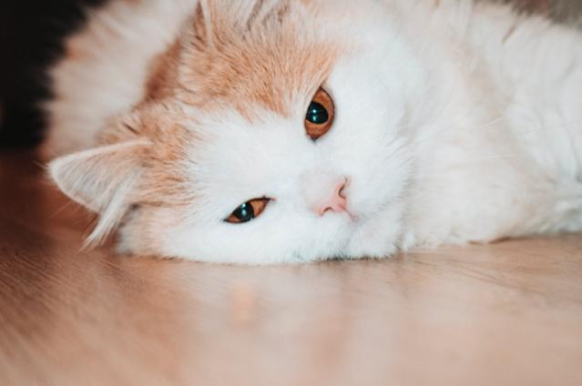 Cara Mengatasi Kucing Demam