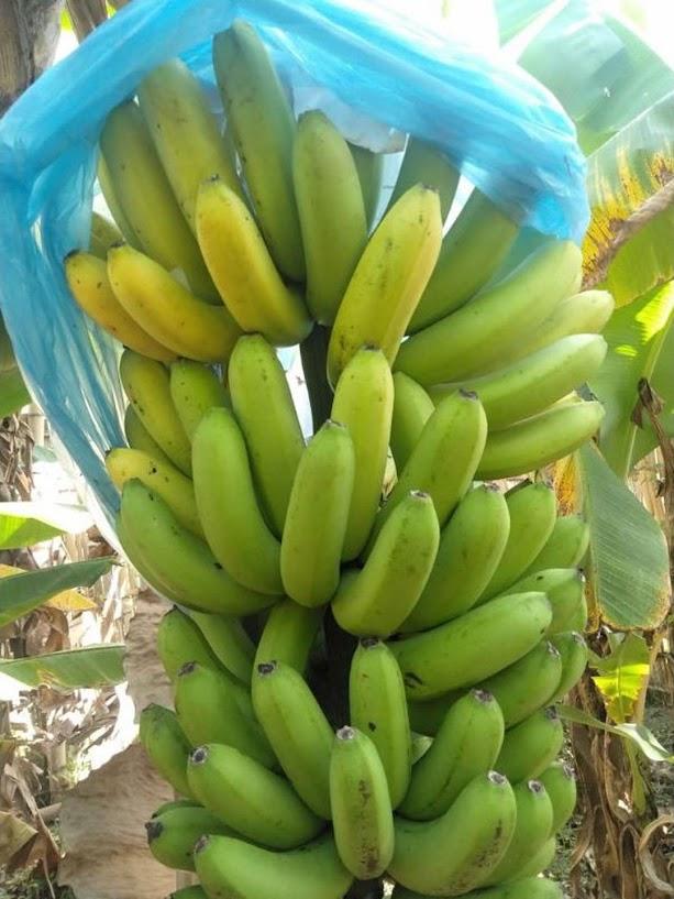 bibit pisang cavendish kuning dongkelan besar anakan Jayapura