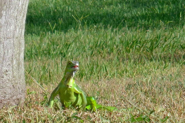 Kermit the Iguana