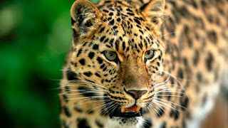 leopards dream meaning