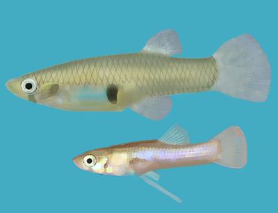 Eastern mosquitofish