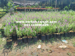 harga pohon lavender angelonia