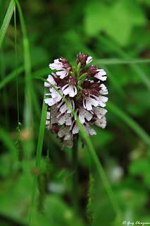 Orchis pourpre (Orchis purpurea), Fontainebleau