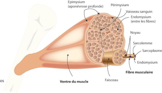 système musculaire infirmier epimysium périmysium faisceau fibres