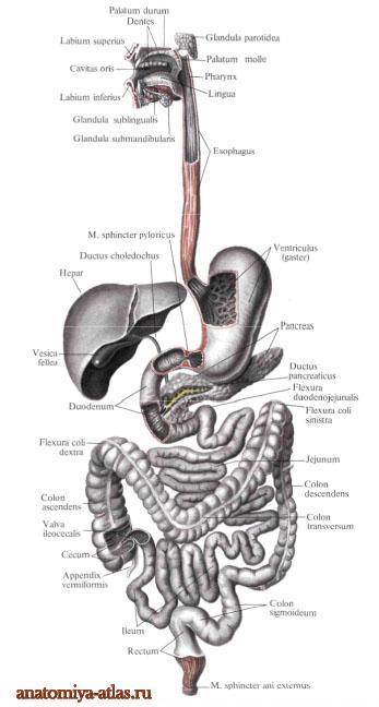 proximalen colon descendens