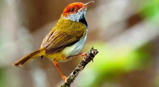 Kicauan Burung Prenjak Memiliki Arti Berdasarkan Primbon Jawa