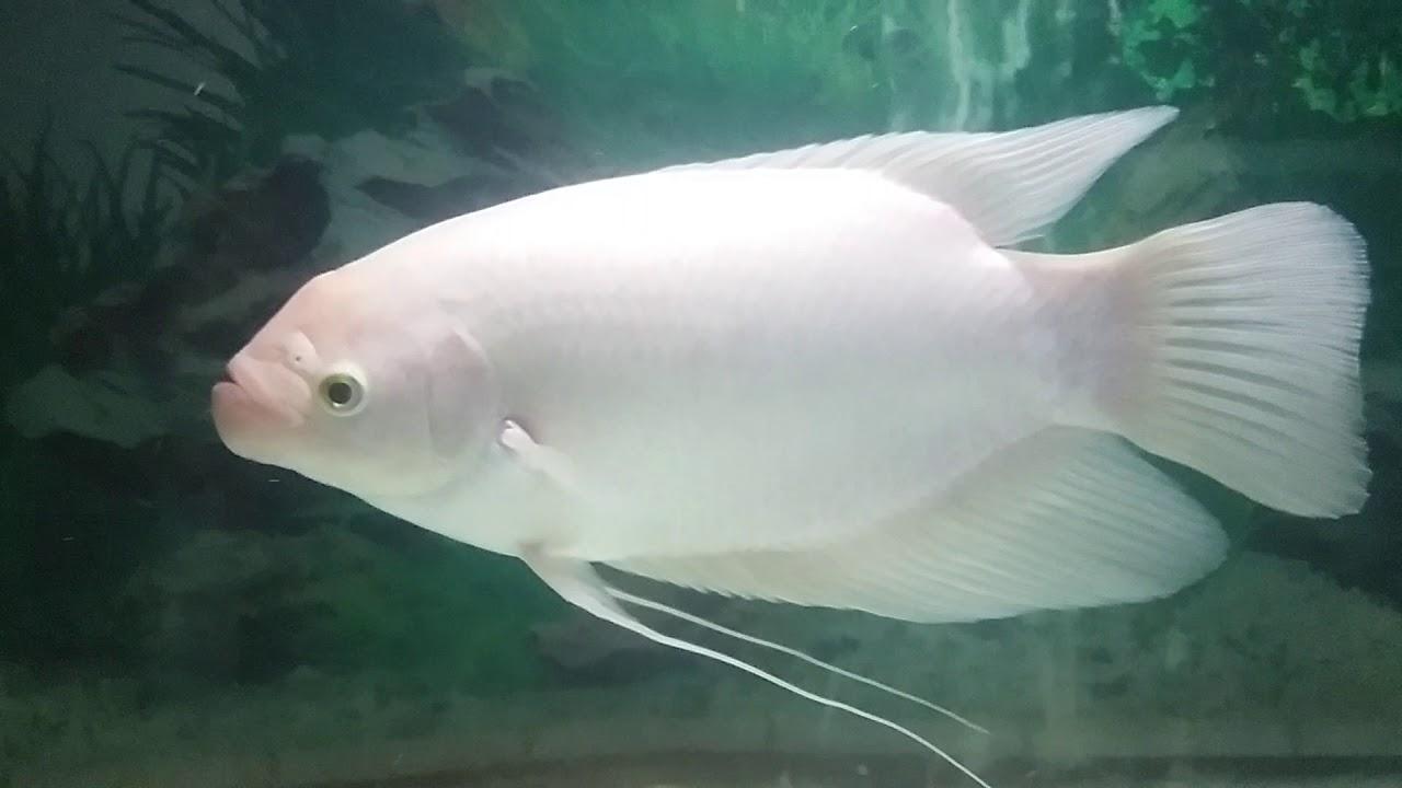 Budidaya Ikan Gurame Padang