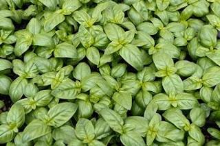Plantas Mágicas: Albahaca