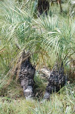 palmeras argentinas