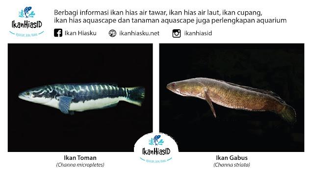 Perbedaan Ikan Gabus dan Ikan Toman