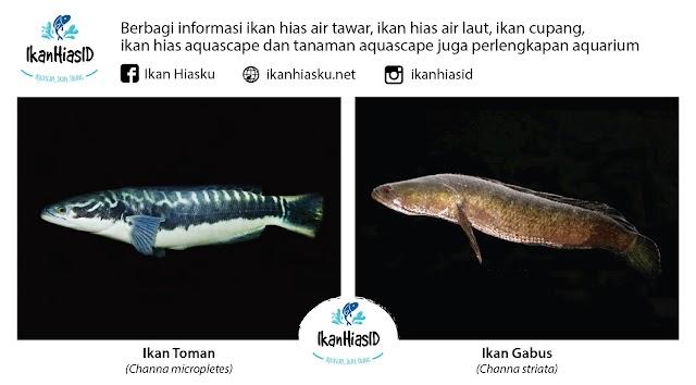 Ketahui Perbedaan Ikan Channa, Toman dan Gabus