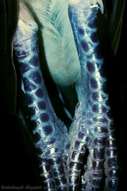 gambar sisik kaki perkutut rajek wesi