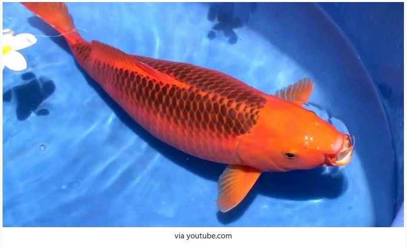 Jenis-Jenis Ikan Koi Aka Matsuba