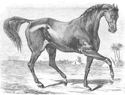 Caballo árabe. Grabado publicado en 1861