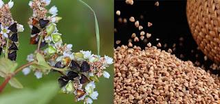 karabuğday diyeti yapanlar yorumları - karabuğday diyeti faydaları - KahveKafeNet