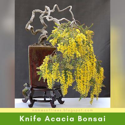 Knife Acacia Bonsai