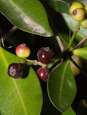 Guamirim ferro (Myrcia cruciflora)
