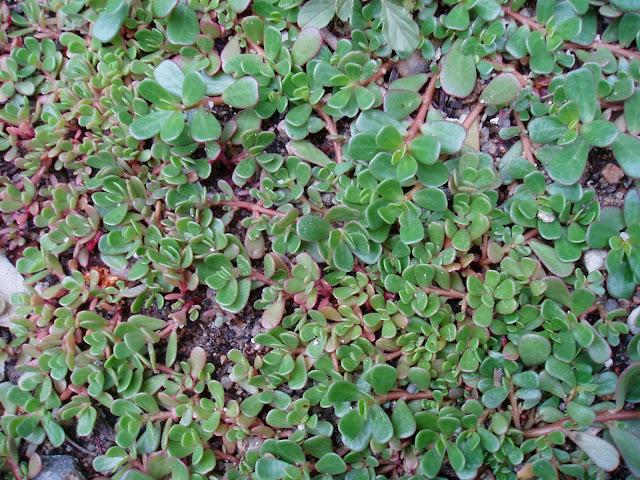 VERDOLAGA: Portulaca oleracea