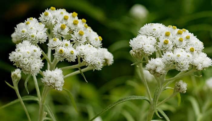 Bunga Abadi Edelweiss
