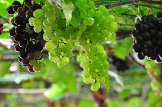 Biji Anggur Sebagai Penyembuh Penyakit Flu