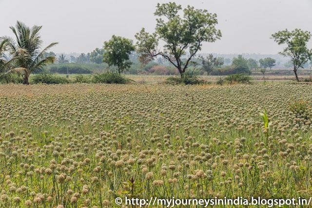 Onion Field in North Karnataka
