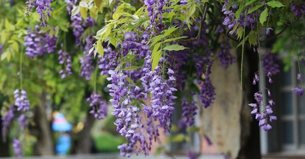 《台中.后里》泰安國小外面紫藤花,還有紅毛刷、朱纓花,路過的美景