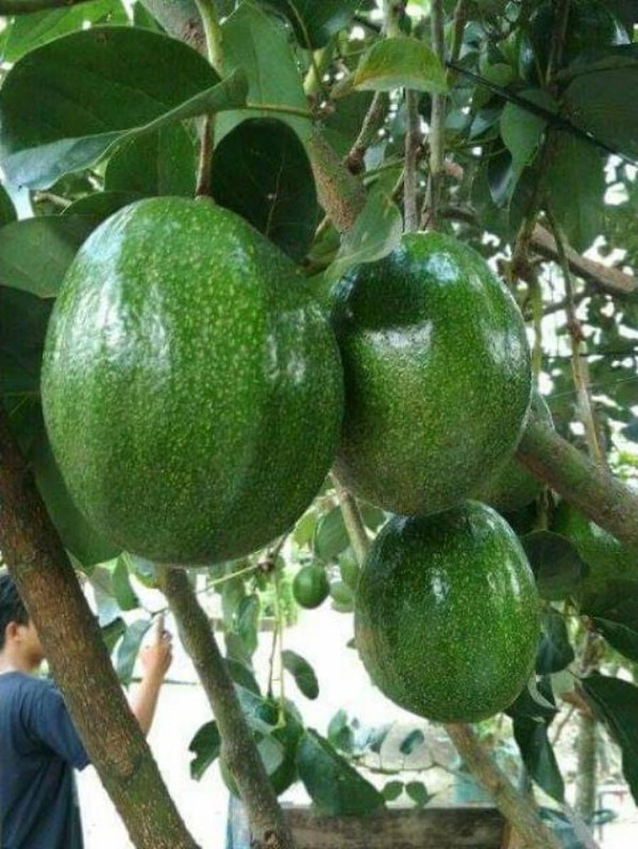 Jaminan Mutu! bibit tanaman buah alpukat Markus okulai super murah Kota Bandung #bibit buah buahan