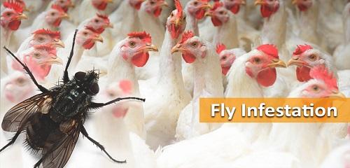 Cara atasi racun lalat