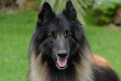 Profundizamos en algunas de las razas caninas más populares, sus características y comportamiento