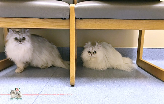 two persian cats under chair