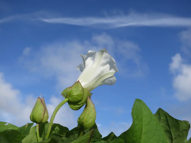 Bindweed (Convolvulus) Flower Against Blue Sky