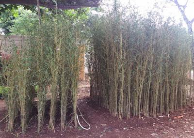 Jual pohon bambu telisik - SuryaTaman