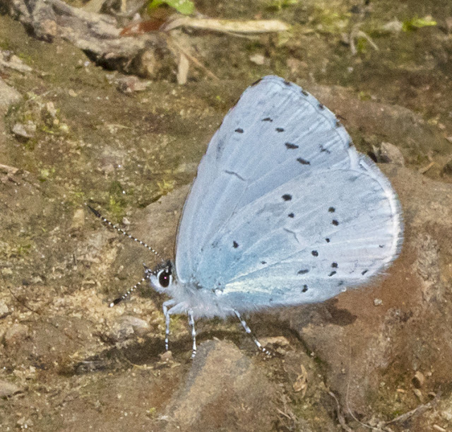 Holly Blue, Celastrina argiolus. Crowborough Country Park, 6 July 2018.